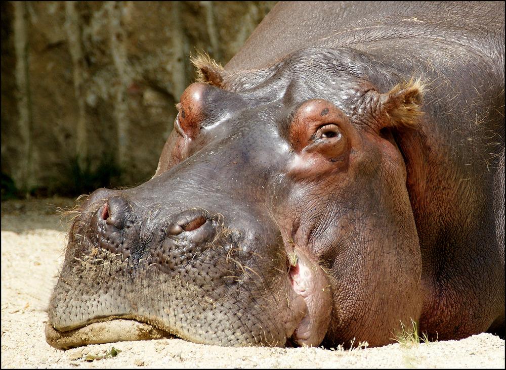 Hippo, schlecht gelaunt.