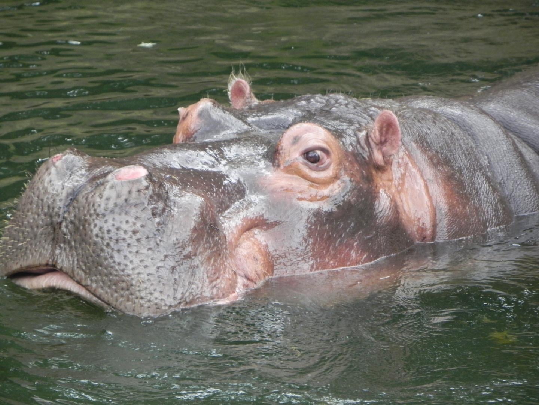 Hippo taucht auf