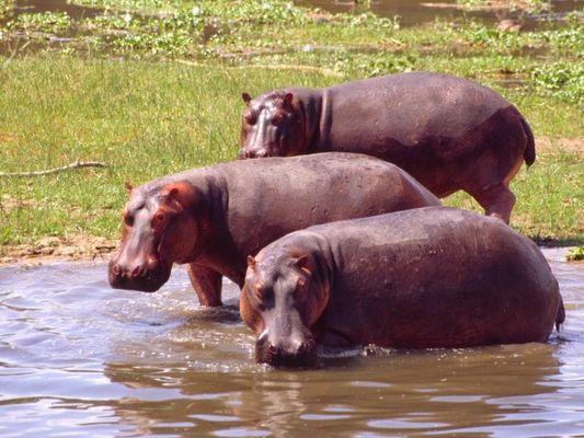 Hippos im Murchison Falls National Park