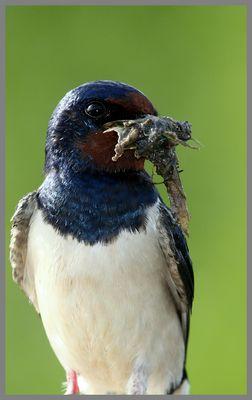 Hirondelle rustique Préparation du nid
