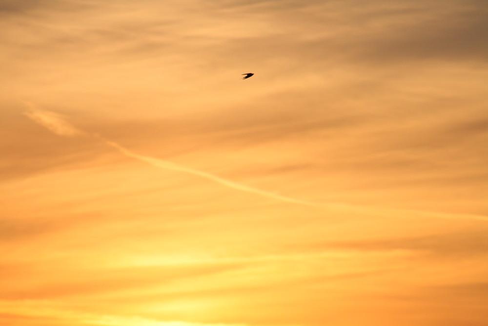 Hirondelle sur coucher de soleil