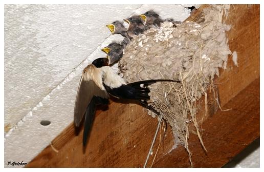 Hirondelles rustiques au nid