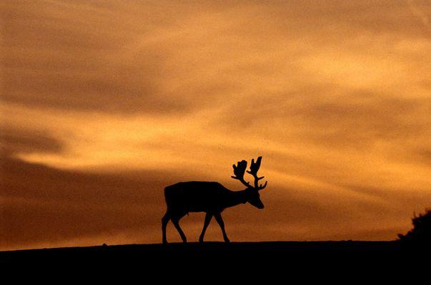 Hirsch im Sonnenuntergang