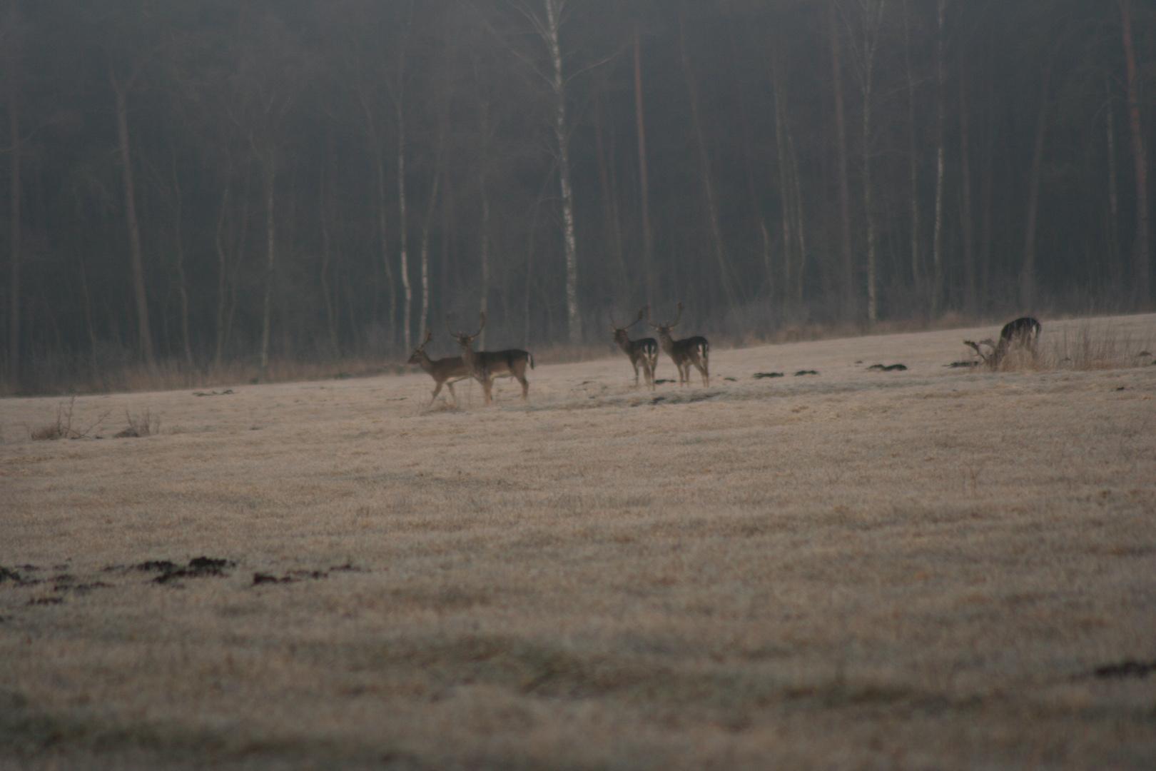 Hirsche am frühen morgen