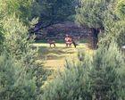 Hirschkälber mit Mütern in der Erler Heide
