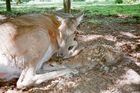 Hirschkalb 45 Minuten nach der Geburt