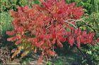 Hirschkolbensumach (Essigbaum) in voller Herbstfaerbung