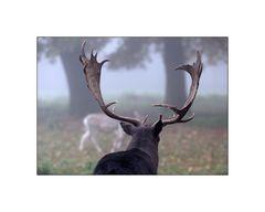 Hirschpark im Nebel...