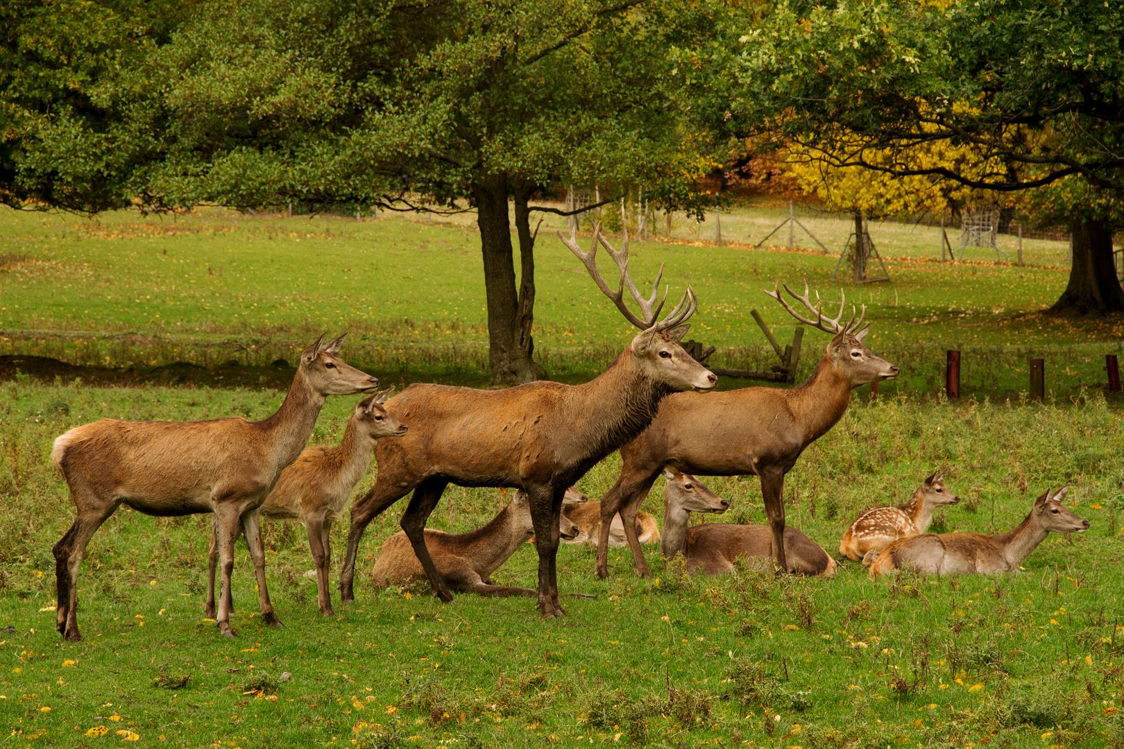 Hirschrudel Tierpark Bad harzburg
