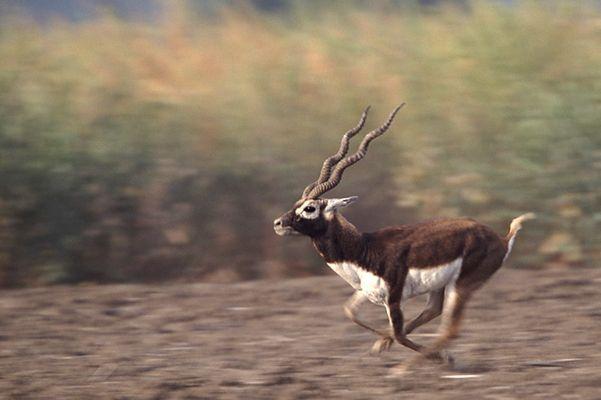 Hirschziegenantilope (Antilope cervicapra)