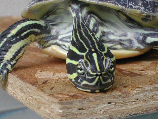 Hitze und Schildkröten