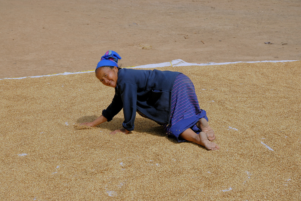 Hmong woman drying sticky rice