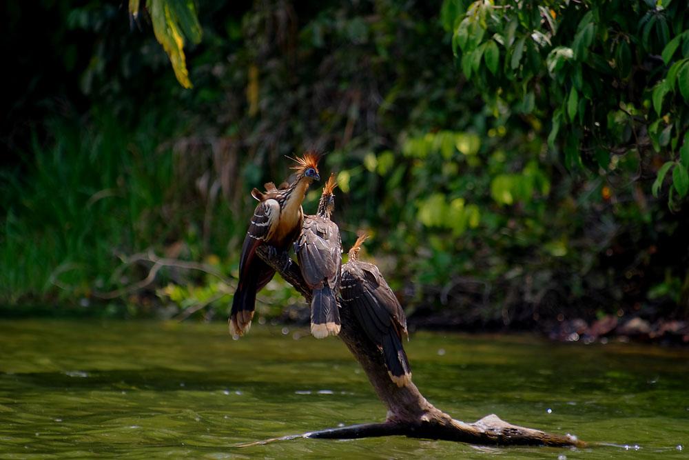 Hoazin huppé du lac Sandoval, Madre de Dios, Pérou