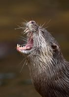 Hobbit Otter