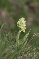 Hochalpine Orchidee