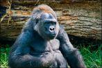 Hochland - Gorilla #1