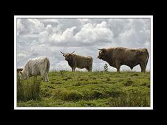 Hochland-Rinder 1