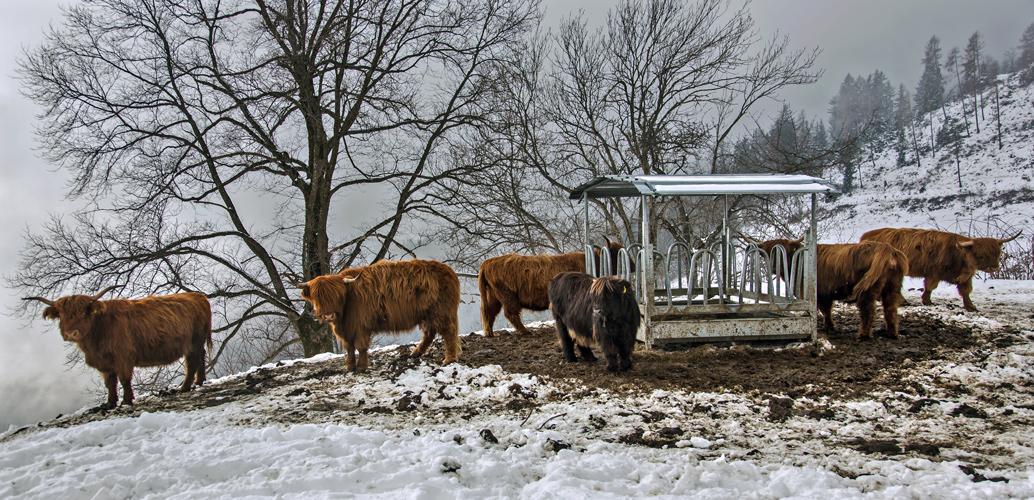 Hochlandrinder auf dem Plesch warten auf frisches Heu!