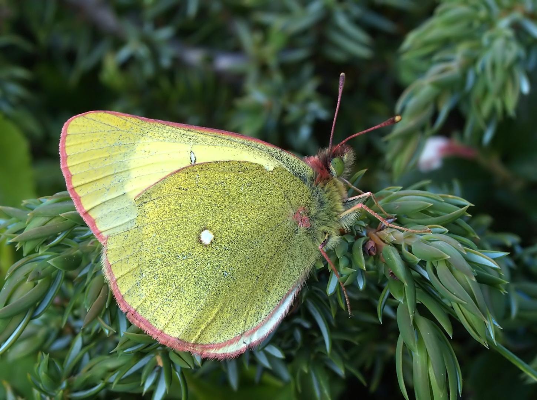 Hochmoor-Gelbling: Colias palaeno