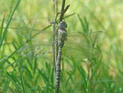 Hochmoor-Mosaikjungfer (Aeshna subarctica elisabethae)