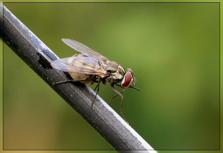 hochschwangere Fliege