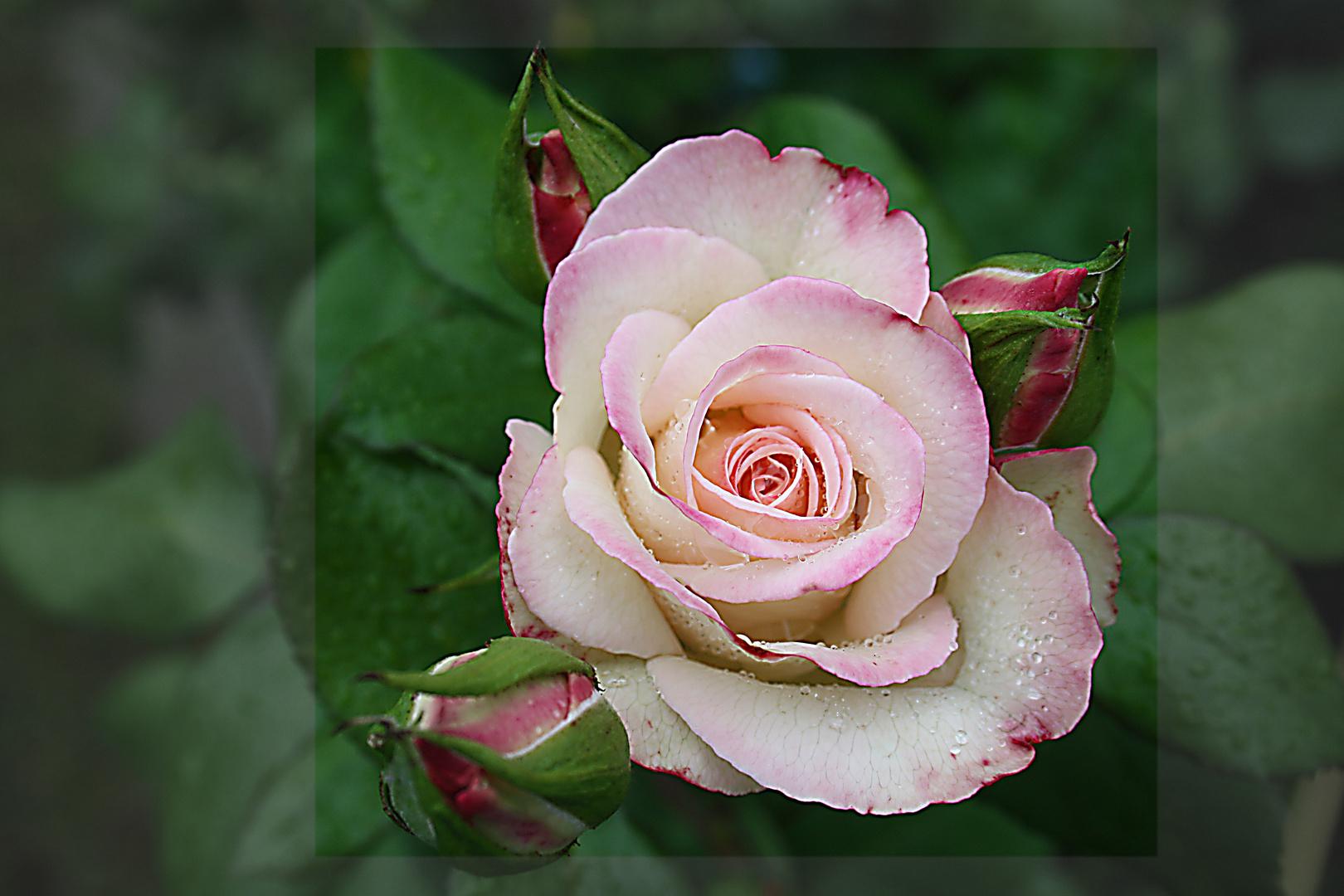 Hochzeits-Rose