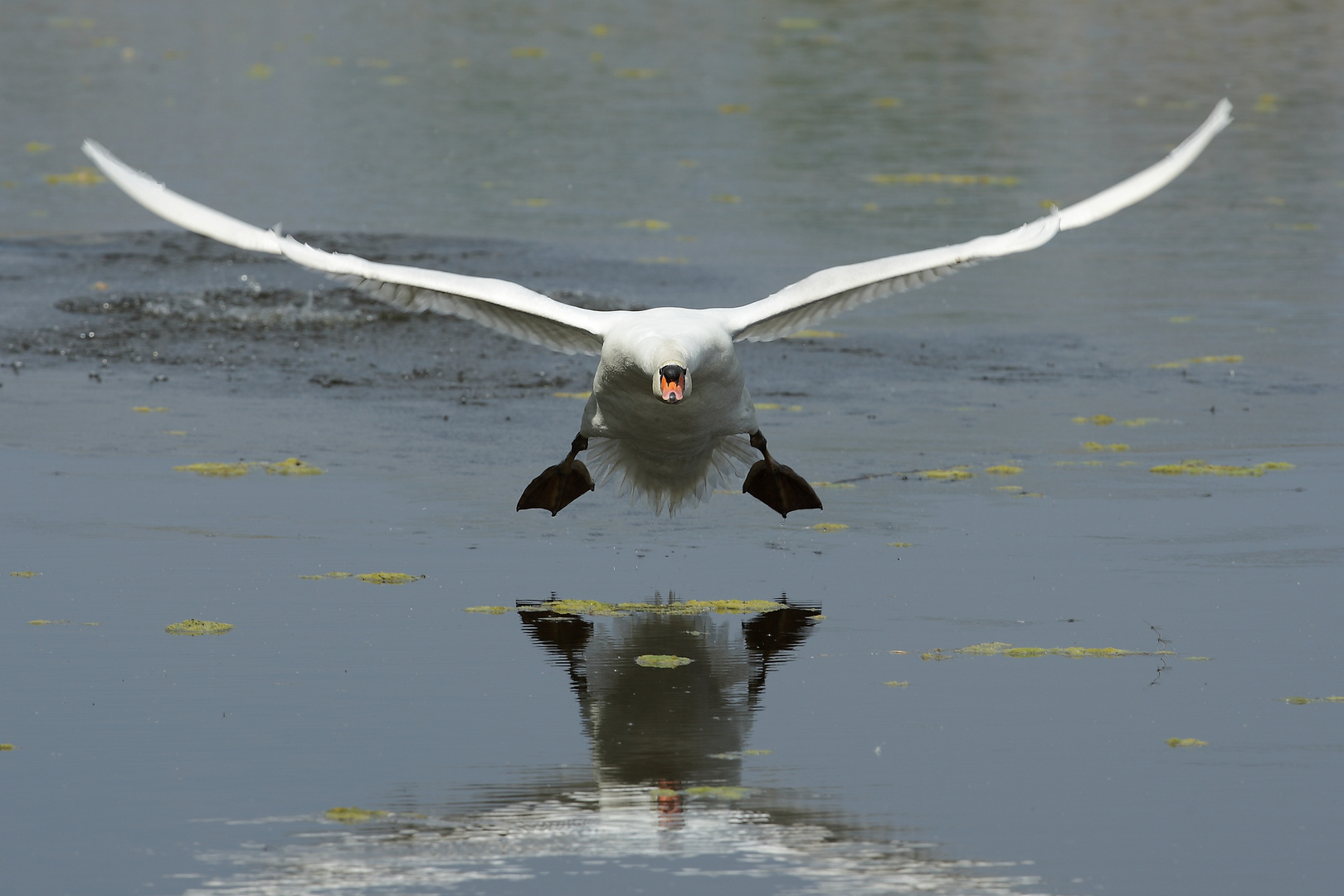 Höckerschwan im Tiefflug