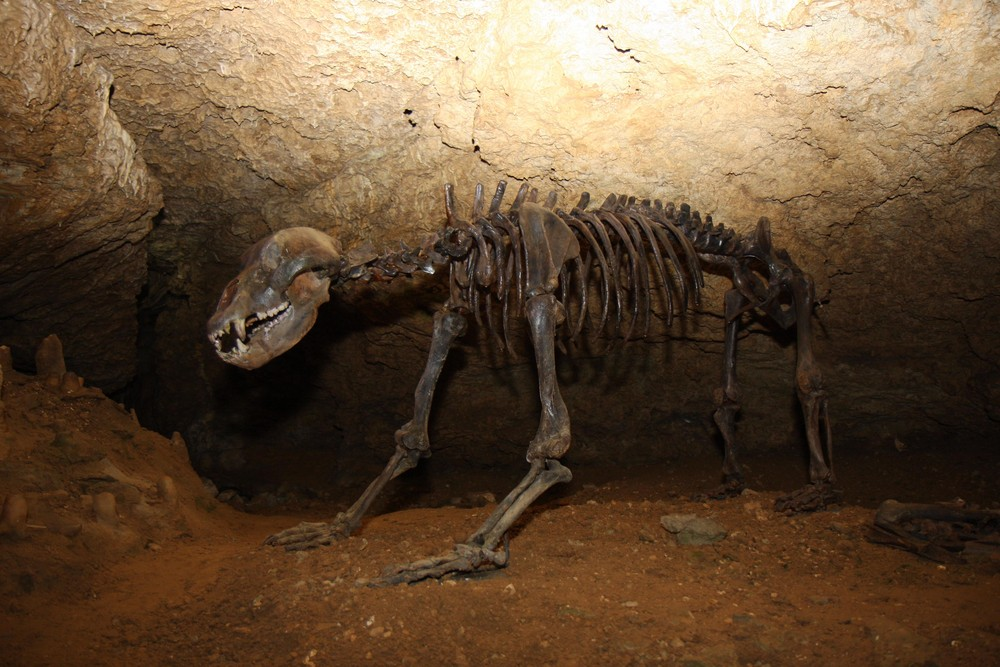 Höhlenbär