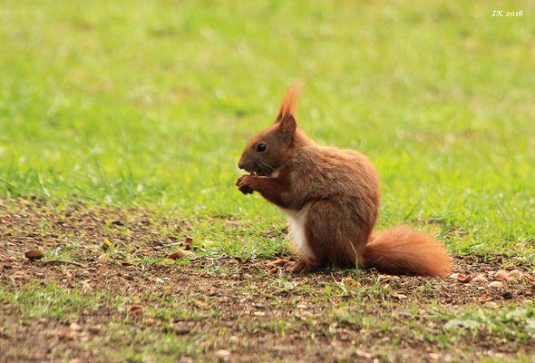 Hörnchen......