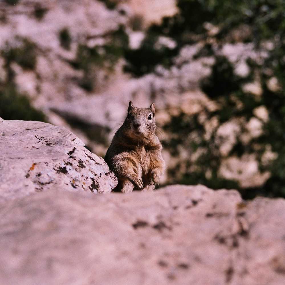 Hörnchen am Grand Canyon