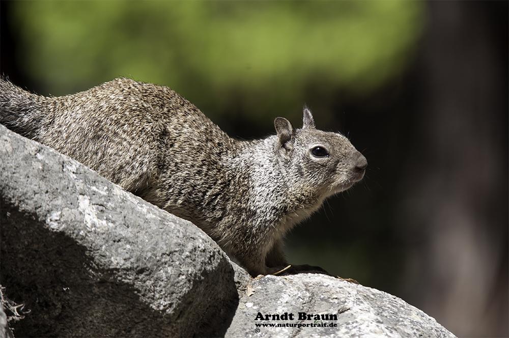 Hörnchen am Nevada Fall