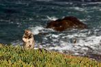 Hörnchen am Strand irgendwo in Oregon - USA