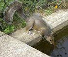 Hörnchen beim Trinken