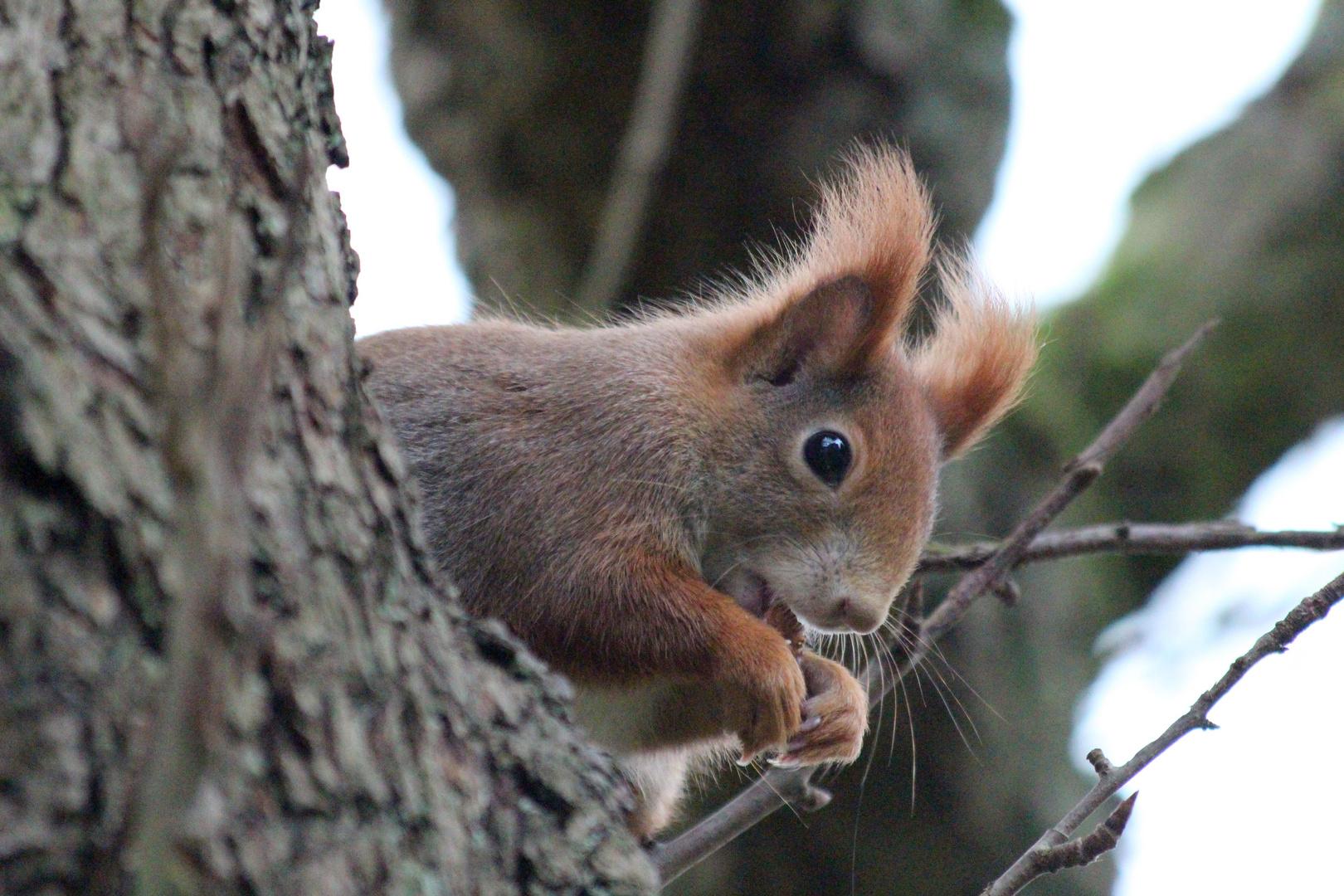 Hörnchen ganz oben