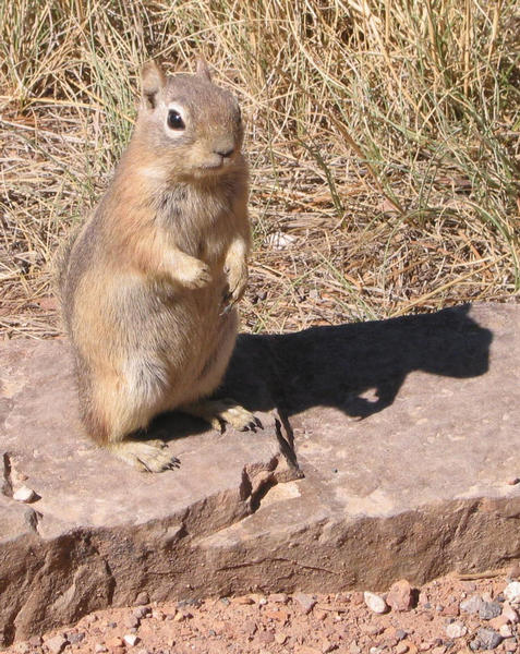 Hörnchen im Bryce Canyon