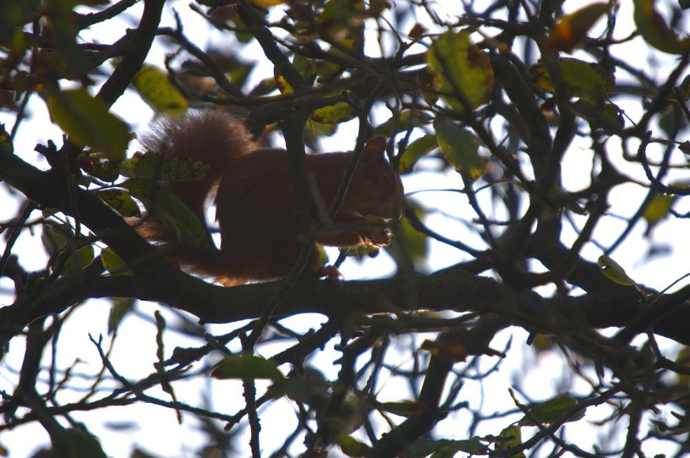 Hörnchen im Gegenlicht