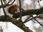 Hörnchen im Winter