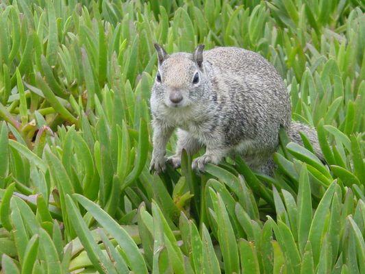 Hörnchen in La Jolla Californien