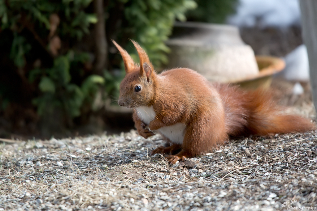 Hörnchen IV
