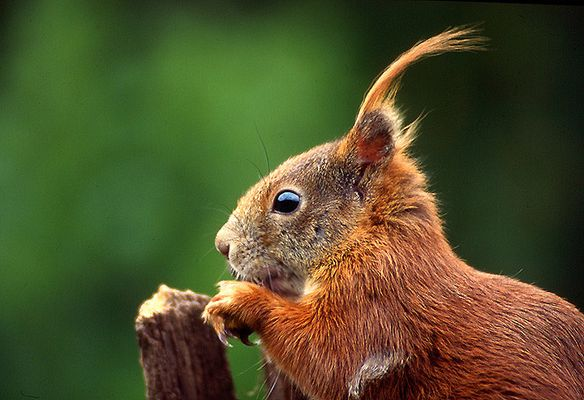 Hörnchenportrait