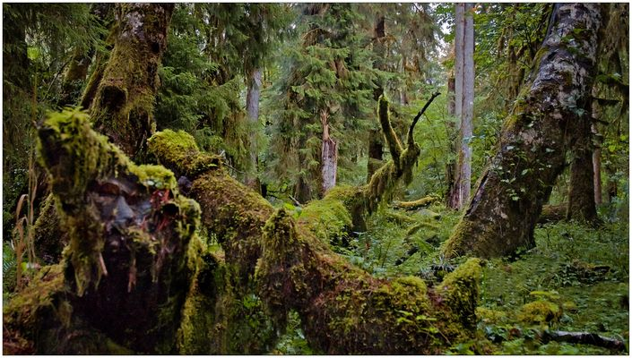 Hoh Rainforest II - Olympic National Park - Washington State