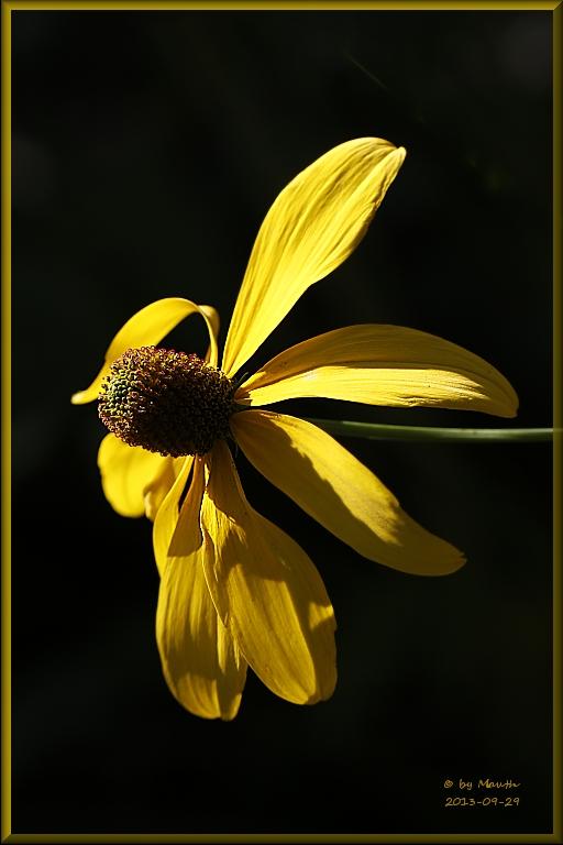 Hoher Sonnenhut (Rudbeckia nitida)