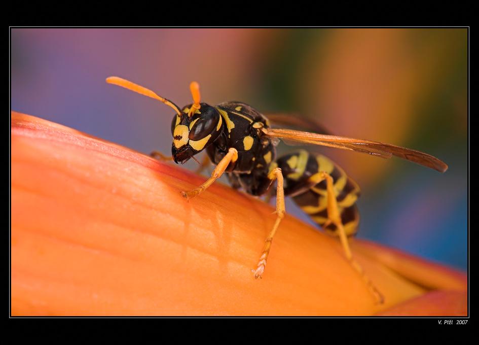 Holiday wasp