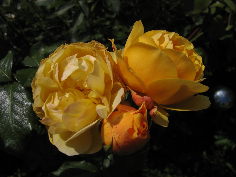 holländische Rosen I