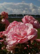 holländische Rosen II