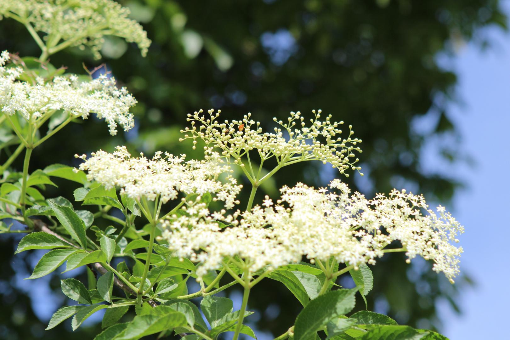 Hollunder Blüten