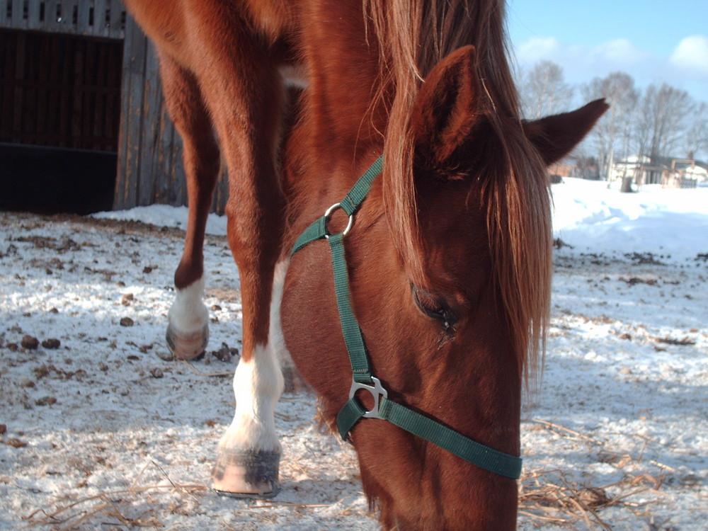 Holly, Quarter Horse
