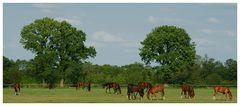 Holsteiner Jährlinge