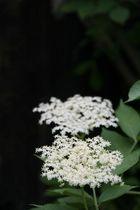 Holunder in Blüte