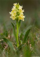 Holunder - Knabenkraut (Dactylorhiza sambucina)....